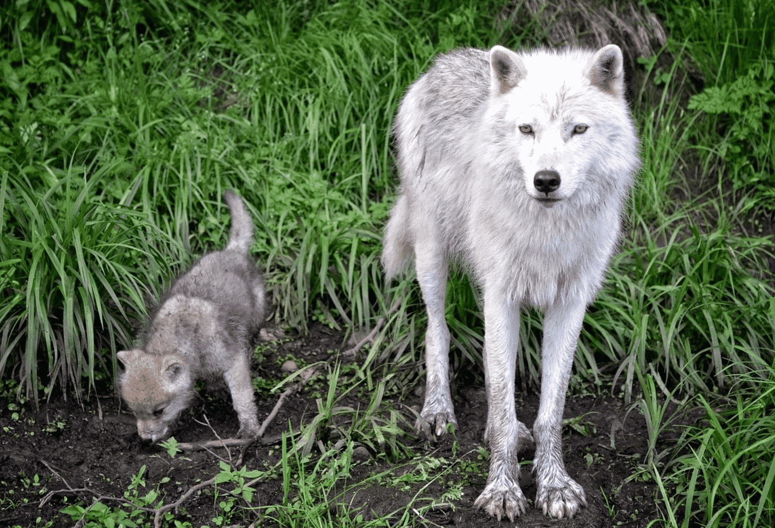 Young wolf and pups