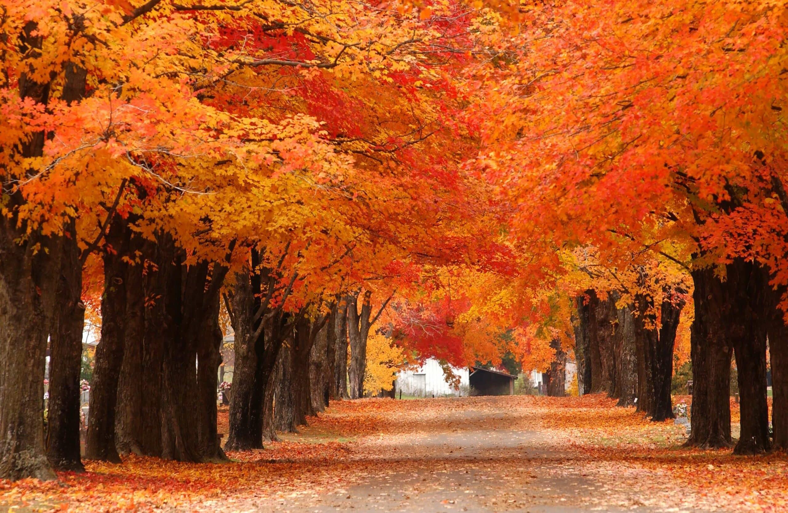 maple tree arkansas