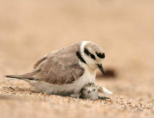 Endangered Snowy Plover threatened by removal of fence at Oceano Dunes
