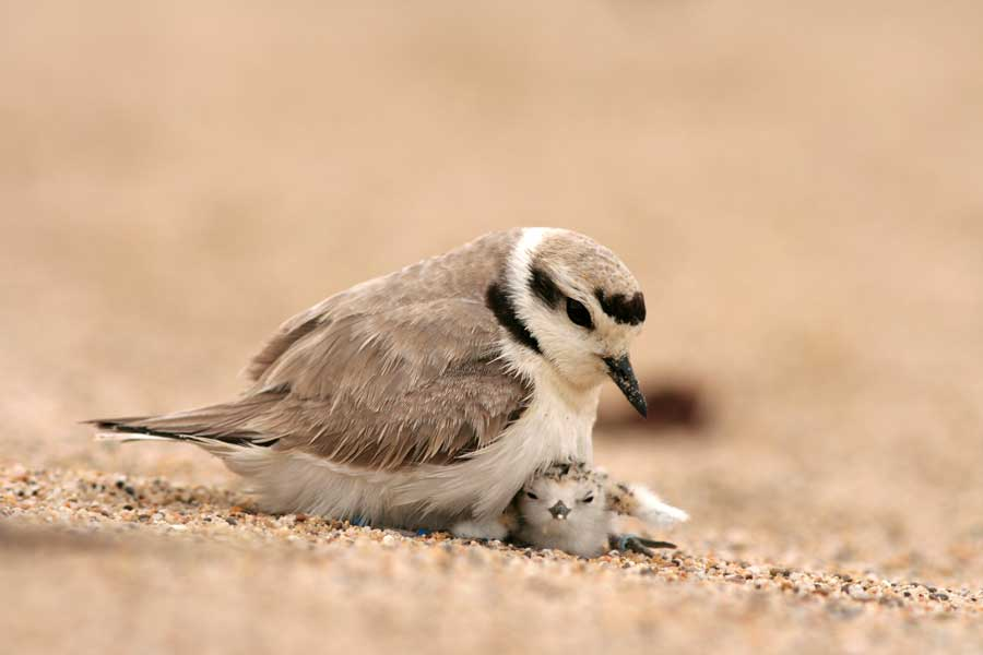 Smowy plovers
