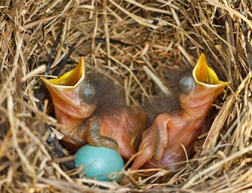 Bluebirds' fledglings numbers are strong this year despite the troublesome winter