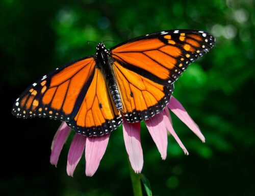 Monarch butterflies make their way to the Pismo Beach Butterfly Grove