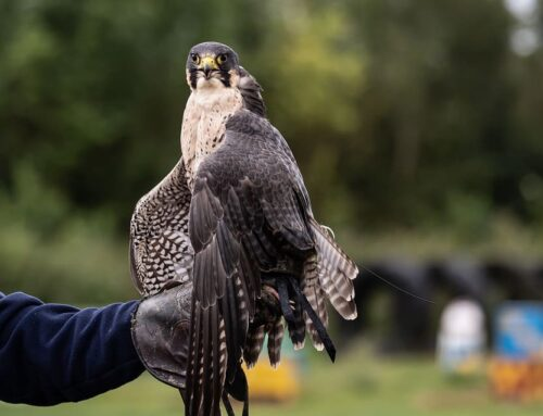 Nike, a Peregrine falcon will be released at Moraine State Park